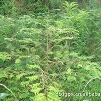 植物之王——红豆杉 红豆杉批发