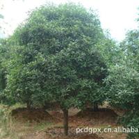 中国丹桂之乡——浦城丹桂树