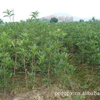 中国丹桂之乡——浦城丹桂移栽苗