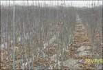我厂大量供应速生白蜡小苗及白蜡树品质高生长旺价格低欢迎
