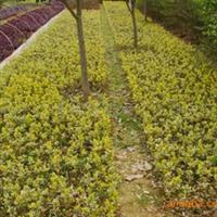 供应优质绿化苗木  金边四季青