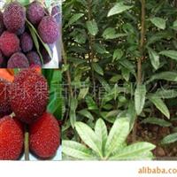 果苗 果树 东魁杨梅 苗木 花卉 优质 种苗 杨梅