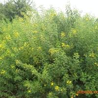 供应绿化苗木-----黄花槐