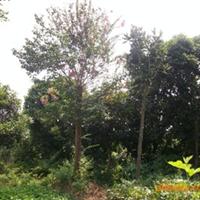 优价供应湖南苗木----移栽大紫薇