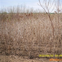 红丁香优质大苗。容器油松,樟子松,金叶榆