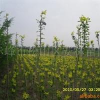 金叶垂榆,高杆嫁接优质苗