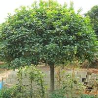 供应绿化苗圃30公分桂花