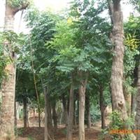 供应大规格绿化乔木再生栾树
