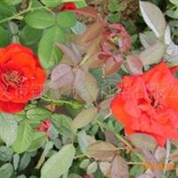 供应 各类各色系   月季 玫瑰种苗含营养钵袋装苗