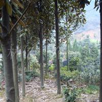 大量供应长绿乔木10-12公分广玉兰(荷花玉兰)