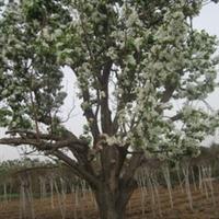 园林绿化用大型古树大果树大型海棠树野海棠海棠果树40--60公
