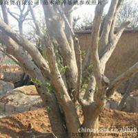 山东枣庄源源商贸苗木苗圃基地|山茱萸|山茱萸批发