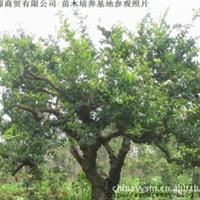 山庄绿化树园林绿化大型石榴树枣庄石榴树干径30公分八年老石榴树
