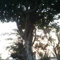枣庄源源商贸有限公司供应 绿化用树杜仲|稀有树种|杜仲