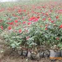 供应  大批量莫海姆盆花月季 红帽子盆花月季