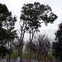 供应胸径18公份黄杨树园林绿化树