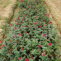 供应大量绿化深夜草莓视频app下载 灌木 钻石月季