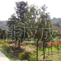 供应优质绿化苗木  广玉兰