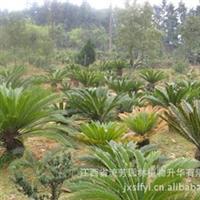 优价供应全国、江西绿化苗木 苏铁 苏铁 种苗 优质木苗
