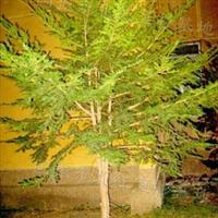 红豆杉枝条