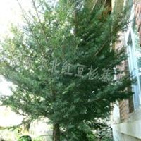 供应东北红豆杉种苗