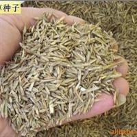 供应黑麦草 高羊茅 杂三叶 早熟禾等草种