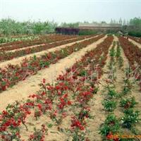金宏绿化苗木场低价供应绿化苗木海棠  日本海棠