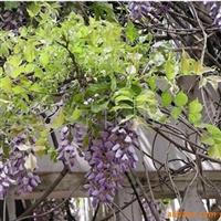 低价供应紫藤 地径3-6公分