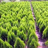 供应自产自销绿化苗木洒金柏 洒金柏球 洒金柏苗