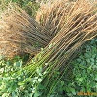 金宏绿化苗木场大量供应护坡活钢筋 紫穗槐