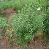 供应各种规格木槿 木槿苗