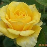 供应精品盆栽月季 金奖章 黄和平 茶香月季量大优惠