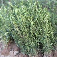 供应冬青 木瓜 月季等绿化苗木 花卉