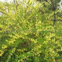 金宏绿化苗木场低价供应连翘小苗