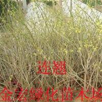 金宏绿化苗木场大量低价供应连翘  连翘小苗