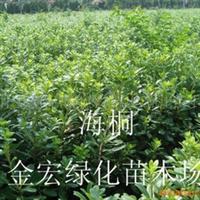 金宏绿化苗木场供应海桐 海桐球别名七里香