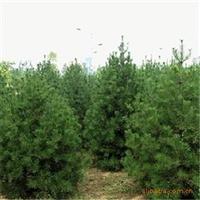 供应2米高绿化乔木白皮松