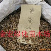 大量供应优质蜀菊种子 波斯菊种子 野菊花种子