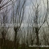 供应大规格乔木合欢,榕花、米径10-15公分合欢