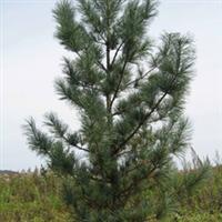 出售长白山地区红松和落叶松等各种规格绿化树苗和成年树