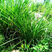 鸿丰园艺供应蒲苇、狼尾草、斑叶芒灯芯草等草本植物,价格从优