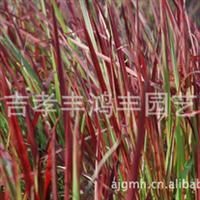 鸿丰园艺大量供应血草、玉带草等草本植物,价格从优