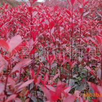 供应高20公分的小苗红叶石楠