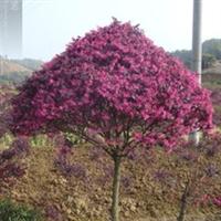 湖南长沙低价供应优质苗木红花继木球