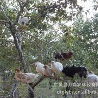 销售各种优质山林放养柴鸡、黑凤鸡、乌鸡、宫庭黄、山鸡
