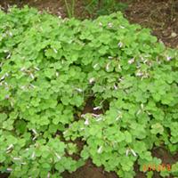 供应红花酢浆草、红花草、夜合梅、大叶酢浆草