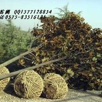 长期供应苗木 桂花  白玉兰 广玉兰出售