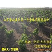 常年提供巨花一号金银花苗 高产价高金银花苗木