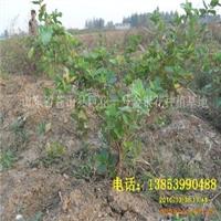 供应当年种植 当年开花四季金银花/树型金银花