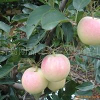 供应优质苹果树苗